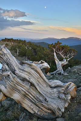 Photograph - Bristlecone Moonrise On Mt. Evans by Ray Mathis