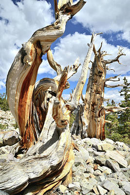 Photograph - Bristlecone Pair by Ray Mathis