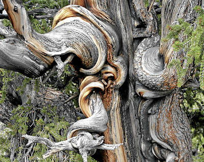 Surrealism Royalty-Free and Rights-Managed Images - Bristlecone Pine - I am not part of history - history is part of me by Christine Till
