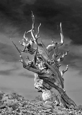 Recently Sold - Surrealism Royalty-Free and Rights-Managed Images - Bristlecone Pine - A survival expert by Christine Till