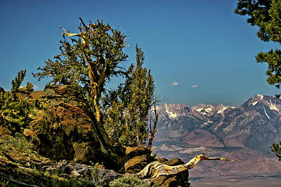 Photograph - Bristlecone Pine  by Albert Seger