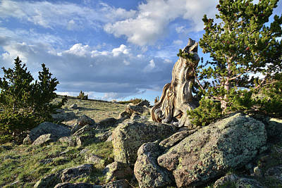 Photograph - Bristlecone Pine Along Mt. Evans Highway by Ray Mathis