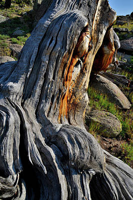 Photograph - Bristlecone Pine Closeup On Mt. Goliath by Ray Mathis