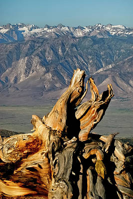 Photograph - Bristlecone Pine Down by Albert Seger