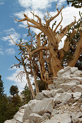 Photograph - Bristlecone Pine 6 by Duncan Selby