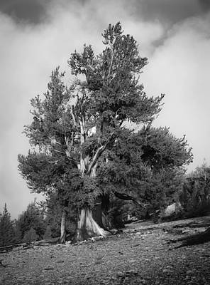 Photograph - Bristlecone Pine by Dusty Wynne