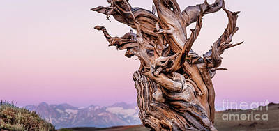 Photograph - Bristlecone Pine - Early Morning - 2 by Olivier Steiner