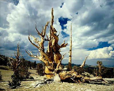 Photograph - Bristlecone Pine by Erik Poppke