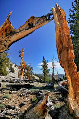 Photograph - Bristlecone Pine Forest by Albert Seger