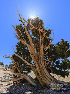 Bristlecone Pine Forest Art Print by Henk Meijer Photography
