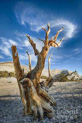 Bristlecone Photograph - Bristlecone Pine by Jennifer Magallon
