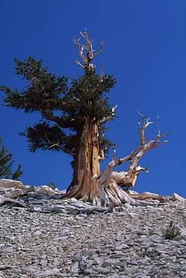 Bristlecone Pine - Patriarch Grove Art Print by Soli Deo Gloria Wilderness And Wildlife Photography