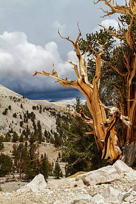 Photograph - Bristlecone Pine Tree 8 by Duncan Selby