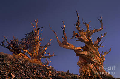 Photograph - Bristlecone Pines At Sunset With A Rising Moon by Dave Welling