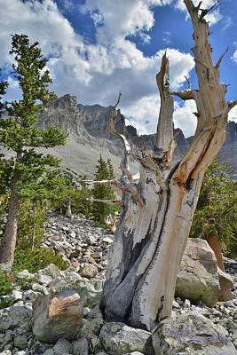 Photograph - Bristlecone by Ray Mathis