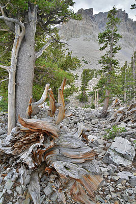 Photograph - Bristlecone Roots by Ray Mathis