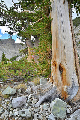 Photograph - Bristlecone Trail In Great Basin by Ray Mathis