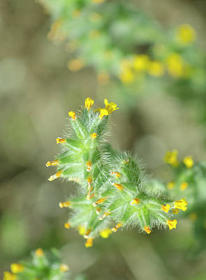 Photograph - bristly fiddleneck Amsinckia tessellata by Rick Mosher
