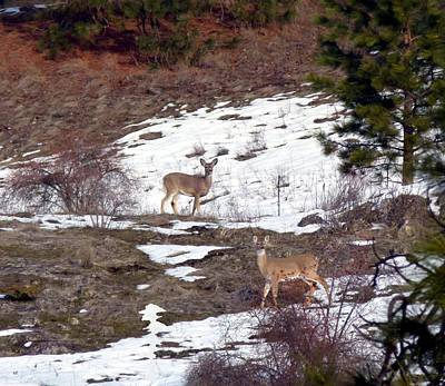 Photograph - British Columbia Deer  by Will Borden