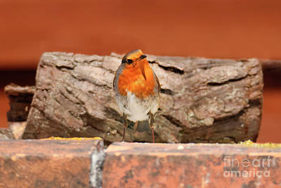 Photograph - British Robin by Terri Waters