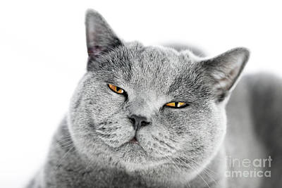 Angry Photograph - British Shorthair Cat Isolated On White. Angry, Irritated by Michal Bednarek