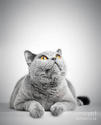 Photograph - British Shorthair Cat Isolated On White. Looking Above by Michal Bednarek