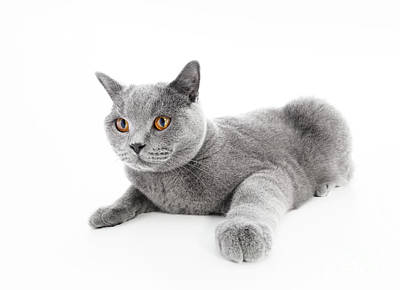 Purebred Photograph - British Shorthair Cat Isolated On White. Lying by Michal Bednarek