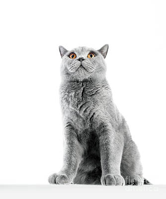 Photograph - British Shorthair Cat Isolated On White. Sitting Confident by Michal Bednarek