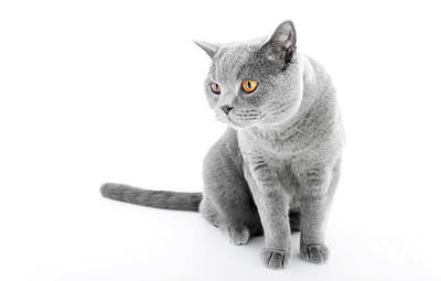 Sitting Photograph - British Shorthair Cat Isolated On White. Sitting by Michal Bednarek