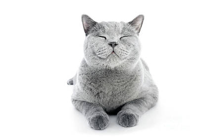 Photograph - British Shorthair Cat Isolated On White. Smiling by Michal Bednarek