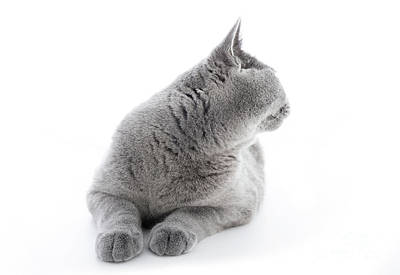 Photograph - British Shorthair Cat Isolated On White. Turning Back by Michal Bednarek