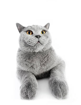 Photograph - British Shorthair Cat Isolated On White. Wide Angle by Michal Bednarek