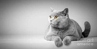 Photograph - British Shorthair Cat Lying On White Table. Copy-space by Michal Bednarek