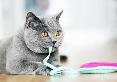 Photograph - British Shorthair Cat Playing With A Toy by Michal Bednarek