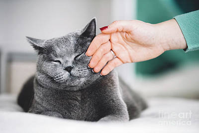 Photograph - British Shorthair Cat Stroked By A Woman by Michal Bednarek