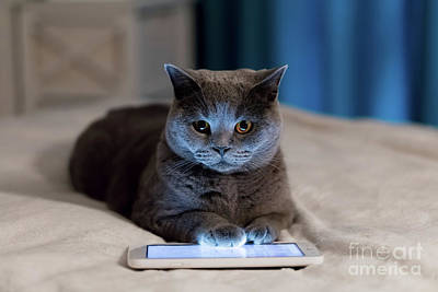 Photograph - British Shorthair Cat Using Tablet Lying On Bed. by Michal Bednarek