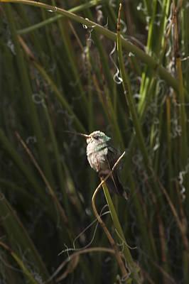 Art Print featuring the photograph Broad Billed Humming Bird Fem by Daniel Hebard