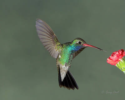 Photograph - Broad Billed Hummingbird by Gerry Sibell