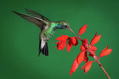 Broad-billed Hummingbird  Art Print