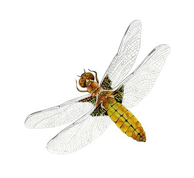 Painting - Broad-bodied Chaser Yellow Dragonfly by Alison Langridge