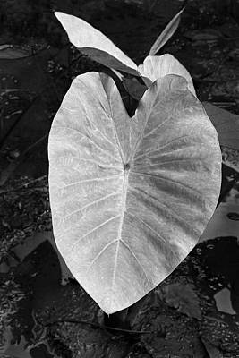 Photograph - Broad Leaf Of A Taro Plant by John Orsbun