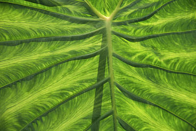 Photograph - Broad Leaf Tropical Plant by Keith Boone