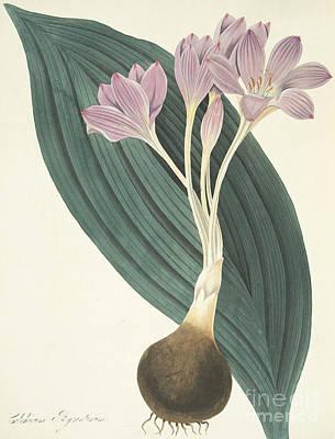Broad-leaved Meadow Saffron Art Print