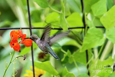 Broad Tail Photograph -  Broad-tailed Hummingbird 2 - Utah by Gary Whitton