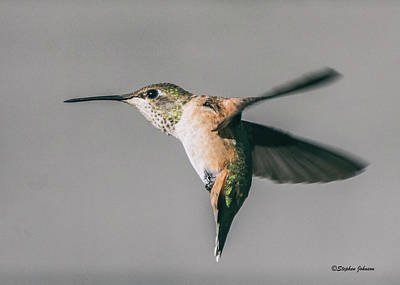 Photograph - Broad-tailed Hummingbird Approaching Feeder by Stephen Johnson
