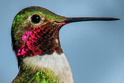 Photograph - Broad-tailed Hummingbird Close-up by Marilyn Burton