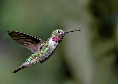 Broad Tail Photograph - Broad-tailed Hummingbird Male by Dawn Key