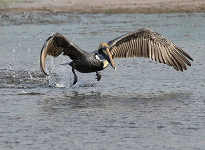 Photograph - Broad Wing Flap by Art Cole