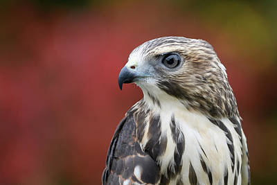 Photograph - Broad Wing Hawk by Michael Hubley