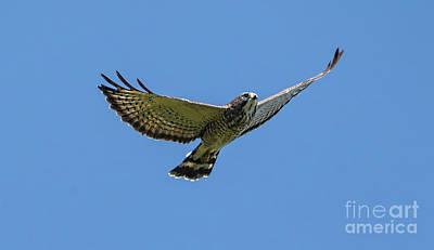 Photograph -  Broad-winged Hawk by Elizabeth Winter